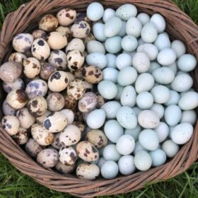 basket with two types of quail eggs